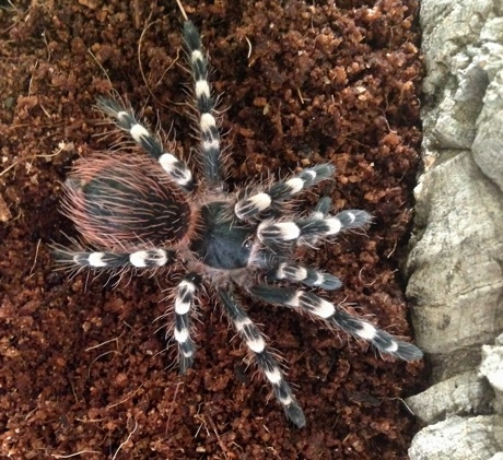 Close up of the female Acanthoscurria geniculata