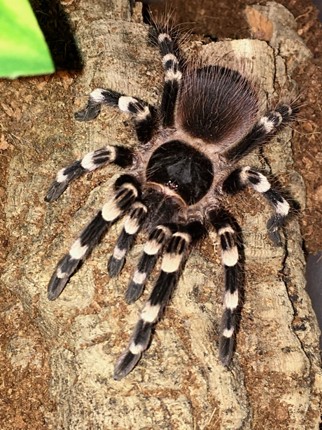 Acanthoscurria geniculata resting on top of her burrow