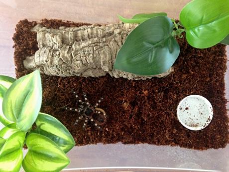 Acanthoscurria geniculata in its terrarium