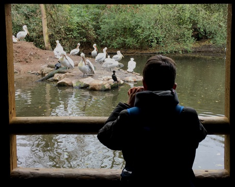 Adam taking photos of Dalmatian Pelicans; Pelecanus crispus