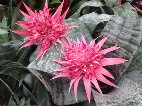 Aechmea fasciata flowering