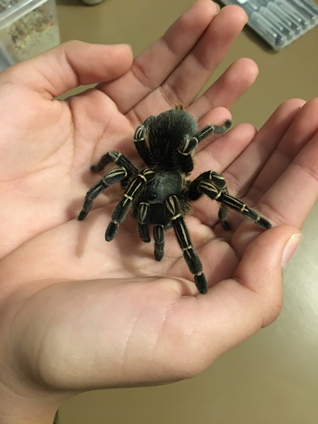 Alice holding a female Aphonopelma seemanni