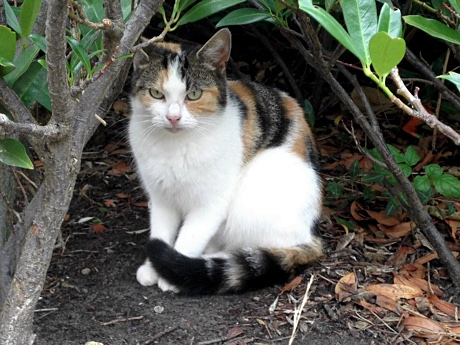 A calico cat sitting underneath some bush