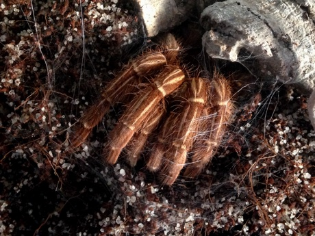 Close up of an Aphonopelma seemanni in its burrow