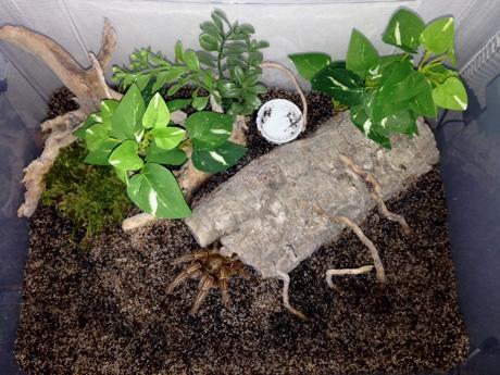 Aphonopelma seemanni terrarium