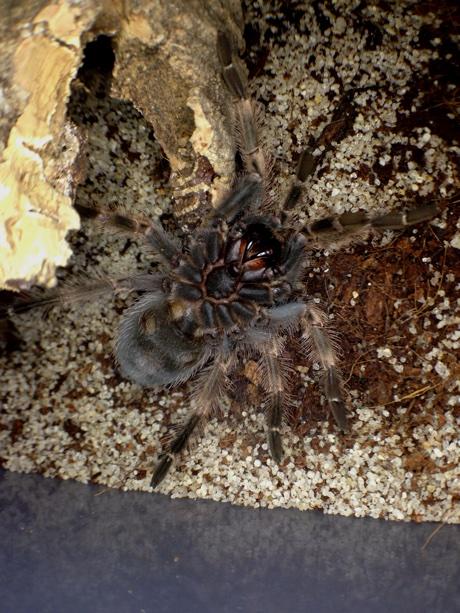 Brachypelma smithi molting