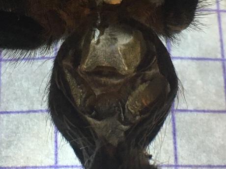 Spermathecae of Brachypelma smithi