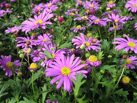 Brachyscome angustifolia flowering