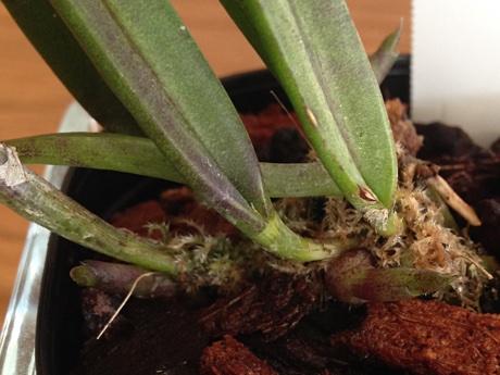 Brassavola nodosa with three new growths
