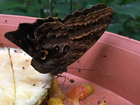 A butterfly enjoying some fruit