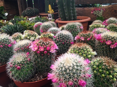 Cacti flowering