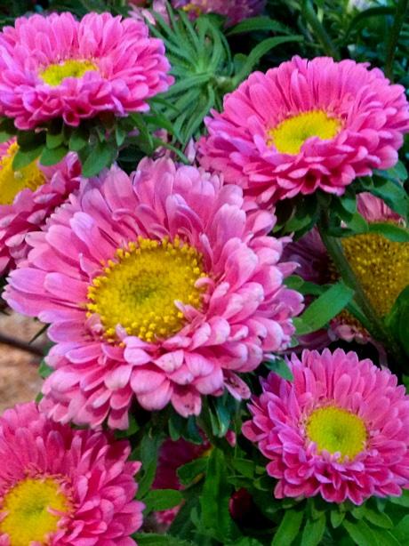 Callistephus chinensis 'Matsumoto Pink'