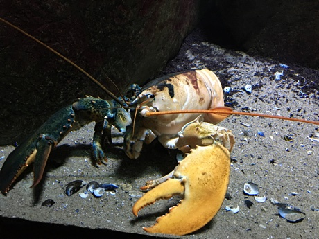 A chimeric lobster