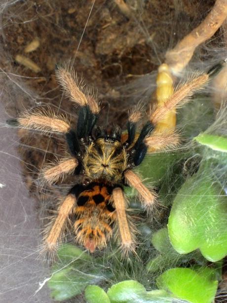 Chromatopelma cyaneopubescens eating