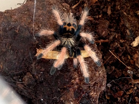 Chromatopelma cyaneopubescens eating a mealworm