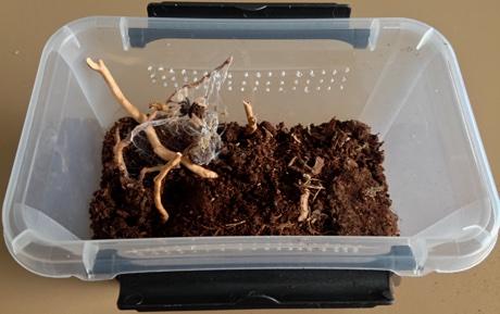 Chromatopelma cyaneopubescens new terrarium