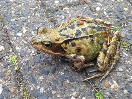 European common brown frog, Rana temporaria