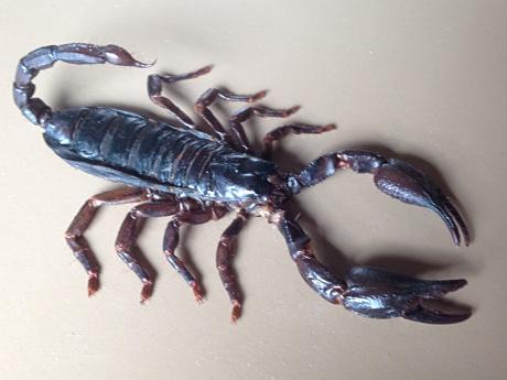 A dead male scorpion