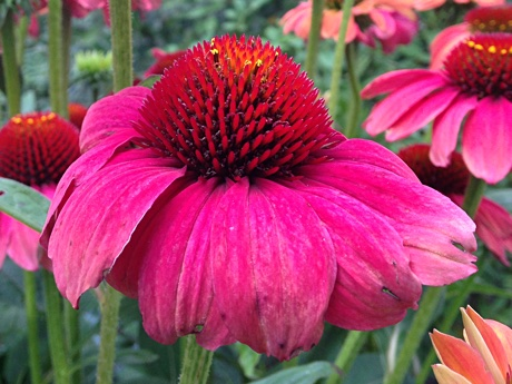 Echinacea purpurea close-up