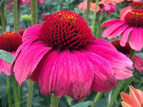 Echinacea purpurea close-up
