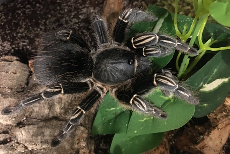 Female Aphonopelma seemanni from above