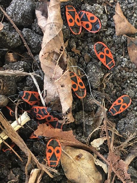 Firebugs, Pyrrhocoris apterus