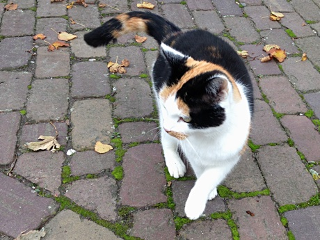 The friendly calico cat