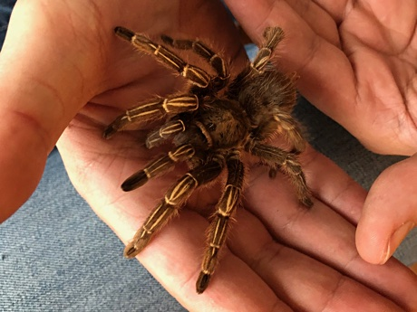 Author handling a Aphonopelma seemanni