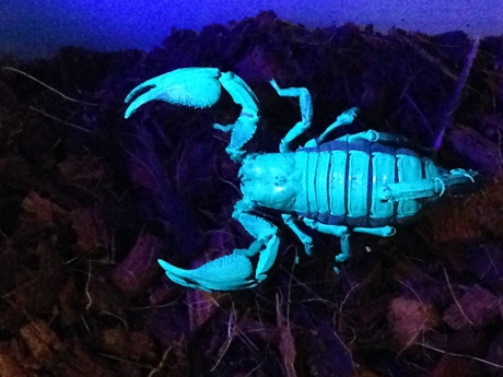Heterometrus petersii under black light in its terrarium
