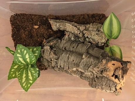 Heteroscodra maculata terrarium