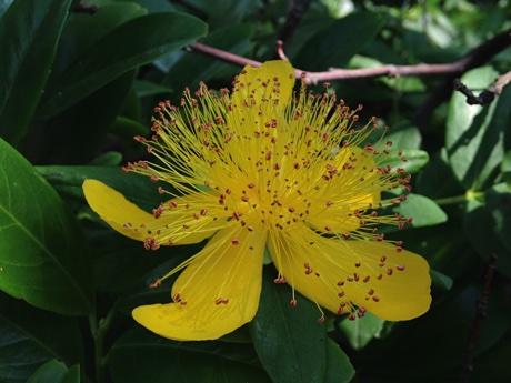 Hypericum calycinum flower