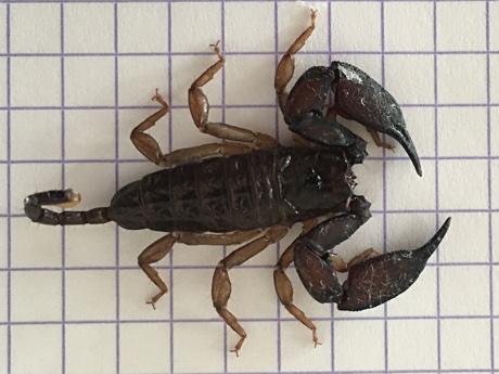 Liocheles australasiae on 5mm grid paper