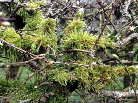 Moss growing on branches of a hedge