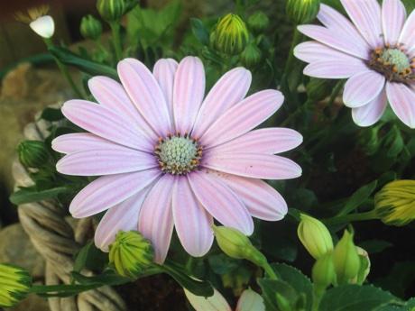 River daisy, Osteospermum ecklonis, flowering