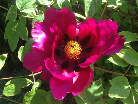 Mudan (Paeonia suffruticosa) flowering