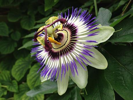 Blue passionflower, Passiflora caerulea