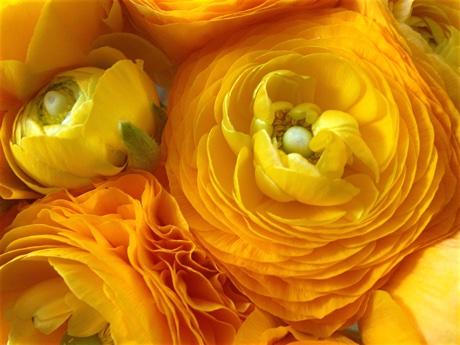 Persian buttercups, Ranunculus asiaticus, flowering