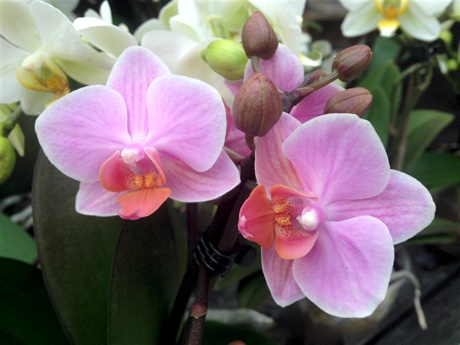 Moth Orchid Phalaenopsis sp. flowering