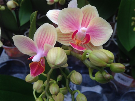 Moth orchid (Phalaenopsis) flowering