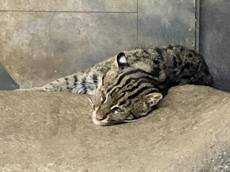 A fishing cat, Prionailurus viverrinus, resting.