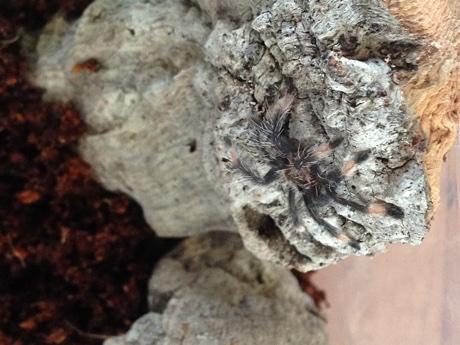 Psalmopoeus cambridgei sling in its terrarium