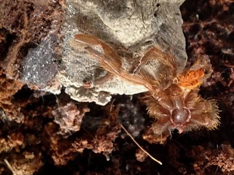 Pterinochilus murinus molt