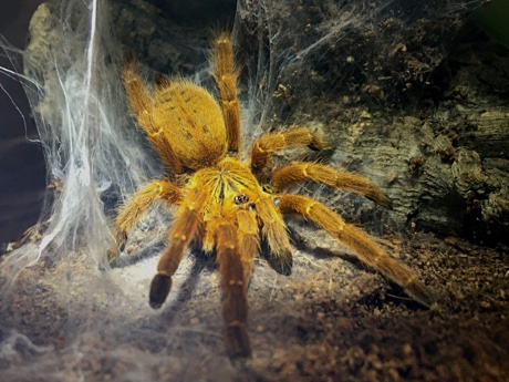 Pterinochilus murinus outside its burrow