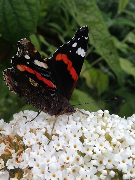 Red admiral on a butterfly bush blossom