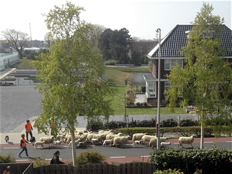 Sheep walking on the road