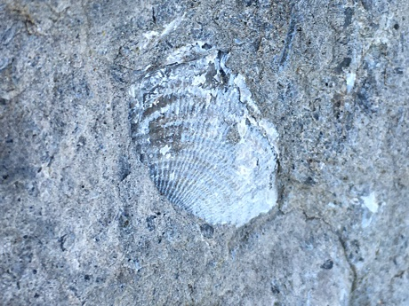Fossilized shell close up
