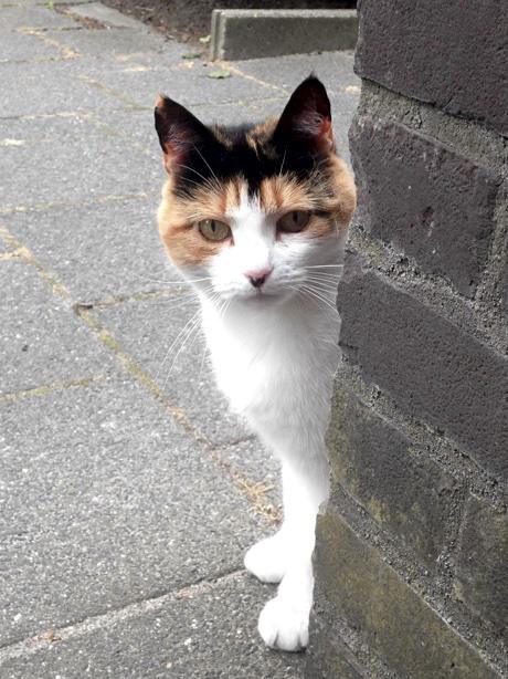 A shy calico cat