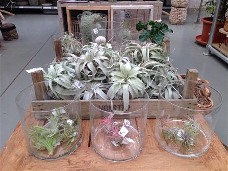 Tillandsia species for sale